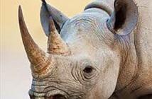 Thực hư tác dụng của sừng tê giác?