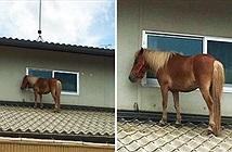 Ngựa đi lạc lên mái nhà sau trận lũ quét lớn