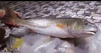 """Video: Cận cảnh con cá """"lạ"""" nghi sủ vàng quý hiếm nặng 3,5 kg mắc lưới ngư dân"""