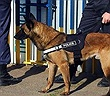 Áo khoác giúp những chú chó cứu hộ tiếp nhận mệnh lệnh từ xa