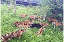 Gấu đen một mình chiến đấu với 14 con hổ