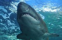 Bất ngờ tìm thấy con cá mập Greenland trên 500 tuổi