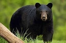 Đang nằm ngủ, bé trai 13 tuổi bất ngờ bị gấu đen tấn công