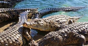 Độc đáo cá sấu tán tỉnh, ân ái ngay trước mặt người