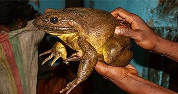 """Loài ếch khổng lồ có cách xây """"bể bơi nòng nọc"""" độc đáo"""