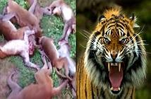 LẠ: Hổ gầm làm khỉ đau tim chết đồng loạt hàng chục con