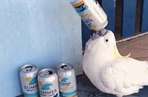 Chán đời, vẹt trắng mò đến vệ đường uống trộm bia?