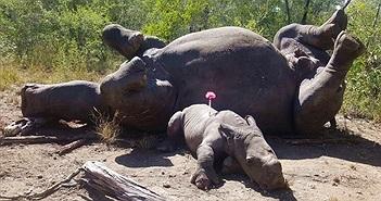 Tê giác khóc nấc bên xác mẹ bị bọn săn trộm giết chết