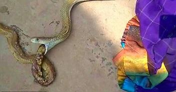 Cảnh hiếm: Rắn hổ mang khổng lồ nôn ra rắn nhỏ