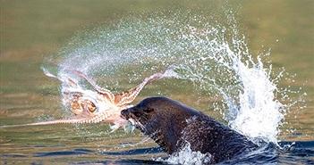 """Sư tử biển """"nổi điên"""" cắn xé bạch tuộc nát tươm"""