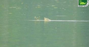Có nhiều hy vọng khôi phục quần thể rùa Hoàn Kiếm