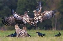 Đại bàng đuôi trắng kịch chiến, quạ đen ung dung thưởng thức trận chiến