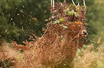 Hươu đực nghịch ngợm đổi kiểu tóc quyến rũ con cái mùa giao phối