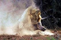 Lợn rừng chạm trán sư tử, lại mắc sai lầm chết người