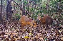 Video: Phát hiện loài Cheo cheo Lưng bạc, tưởng đã tuyệt chủng tại Việt Nam
