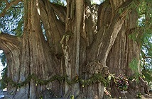Chiêm ngưỡng những thân cây độc lạ trên thế giới