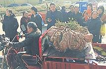 Không tin nổi vào mắt mình khi thấy củ khoai nặng 41kg