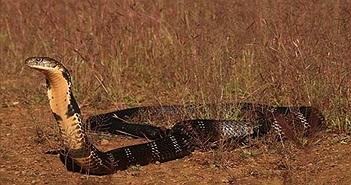 Làm gì khi gặp phải rắn độc như hổ mang chúa 20kg?