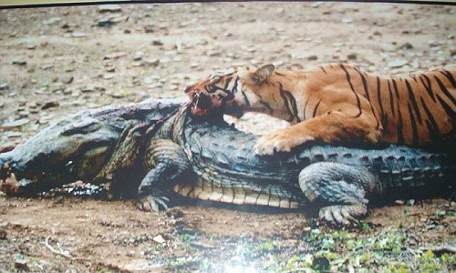 """""""Nữ hoàng hổ"""" sống 2 thập kỷ, giết chết cá sấu khổng lồ"""