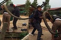 """Video: Người dân phủ nhận bắt được con rắn """"khổng lồ"""" ở Vĩnh Phúc?"""