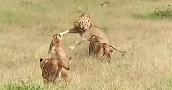 Sư tử đực giành mồi con cái và kết cục đắng lòng