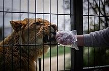 Sư tử nổi điên tấn công người chăm sóc, suýt ăn tươi cánh tay