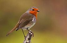 Vì sao lông chim quý thường có màu xanh?