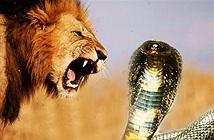 Rắn hổ mang tấn công sư tử bằng nọc độc