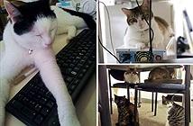 Văn phòng công nghệ... thuê mèo về nuôi