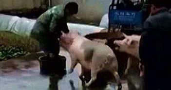 Lợn lao vào tấn công người, giải cứu bạn đang bị làm thịt
