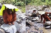 Bất ngờ đười ươi cực thông minh, trổ tài tránh mưa