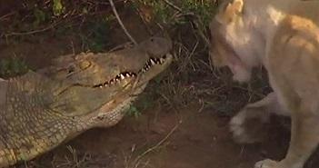 """Cá sấu khổng lồ suýt chết vì bị bầy sư tử """"quây"""""""