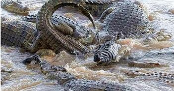 Hơn 40 con cá sấu xé xác ngựa vằn
