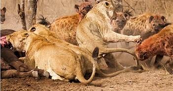 Linh cẩu đánh cướp mồi của sư tử
