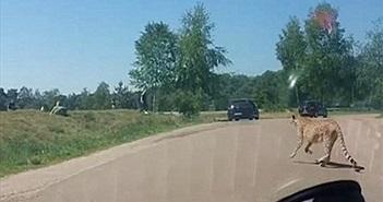 Liều ra khỏi xe chụp ảnh, cả gia đình bị báo đốm đuổi suýt chết