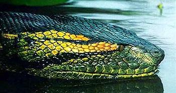 Những lời kể về rắn hổ mây miền Tây, chỉ nghe đã hãi...