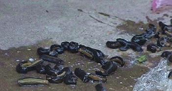 Sinh vật lạ giống đỉa xuất hiện tại huyện Hồng Ngự, Đồng Tháp