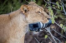 Nhiếp ảnh gia sơ ý, sư tử cái làm điều gây bất ngờ