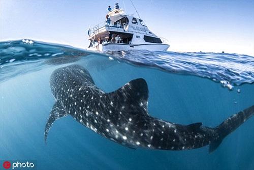 Cá mập voi khổng lồ áp sát tàu thợ lặn gây choáng ngợp