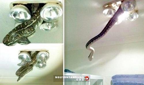 Hoảng hốt phát hiện trăn 'khủng' treo lơ lửng trên trần nhà tắm