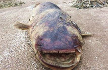 Thủy quái khổng lồ với hàm răng nhọn dạt vào bờ sông Volga