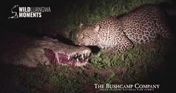 Video: Báo hoa mai liều lĩnh cướp thức ăn trong miệng cá sấu