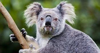 Video: Cuộc sống hạnh phúc của những con koala dễ thương mất nhà