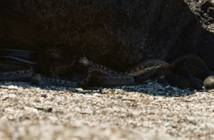 Video: Kì nhông biển phải bỏ chạy vì bị cả đàn rắn rượt đuổi