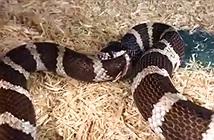 Video: Kinh hãi cảnh rắn ăn ngấu nghiến đuôi của mình vì quá đói