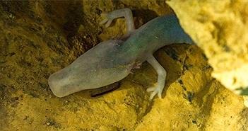 Loài kỳ nhông mù kỳ lạ, mất 10 năm để ăn một bữa ăn, 12 năm để giao phối nhưng có thể sống cả thế kỷ