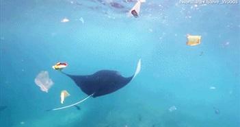 Đáng sợ cá đuối quỷ vật vã tìm ăn trong biển nhựa rác
