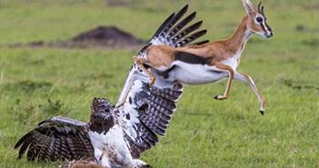 Linh dương mẹ điên cuồng chiến đấu với đại bàng khổng lồ