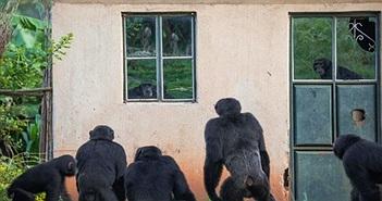 Rùng mình lũ tinh tinh liên tục mò vào làng bắt, sát hại trẻ em