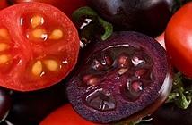Phát triển giống cà chua tím biến đổi gene giàu anthocyanin